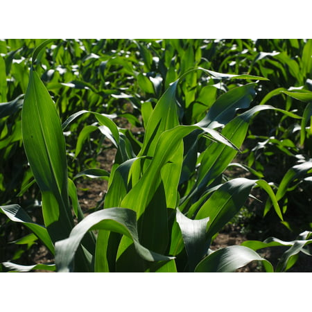 Canvas Print Corn Cultivation Corn Leaves Agriculture Cornfield Stretched Canvas 10 x - Corn Loaf