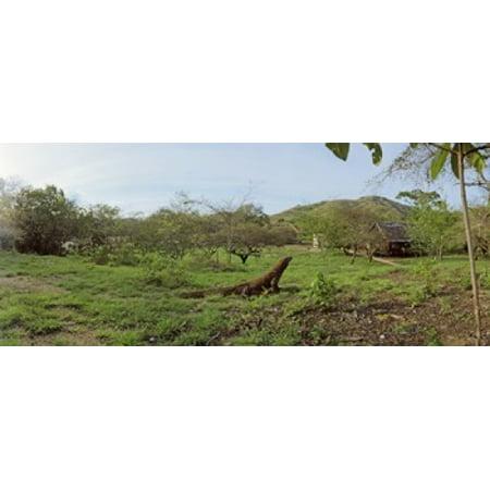 Komodo Dragon (Varanus komodoensis) in a field Rinca Island Indonesia  Stretched Canvas - Panoramic Images (30 x 13)