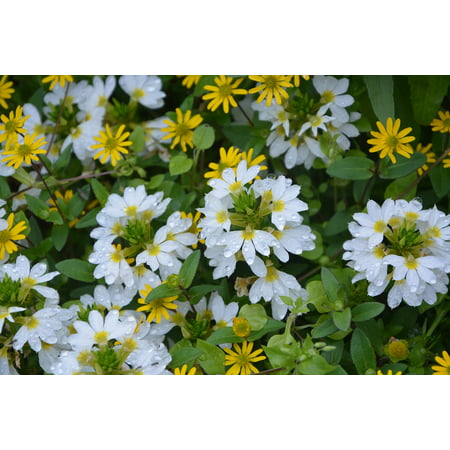 LAMINATED POSTER Plants Nature Flowers Of Massive White And Yellow Poster Print 24 x 36
