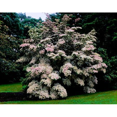 - Kousa Dogwood trees (Cornus kousa) in a garden United States National Arboretum Washington DC USA Poster Print by Panoramic Images (28 x 22)