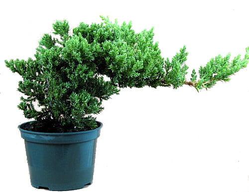 "Japanese Juniper Bonsai Starter Tree 4"" pot Juniperus procumbens 'Nana' by"
