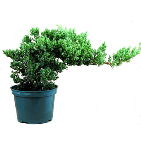 Outdoor Bonsai Tree - Japanese Juniper Bonsai Starter Tree - 4