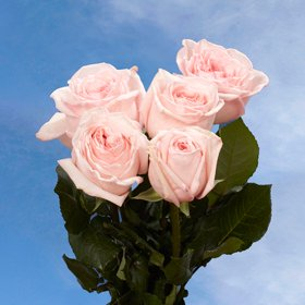 Globalrose 72 True Pink Special Roses   Fresh Flowers For Delivery   Perfect For Birthdays  Anniversary Or Any Occasion
