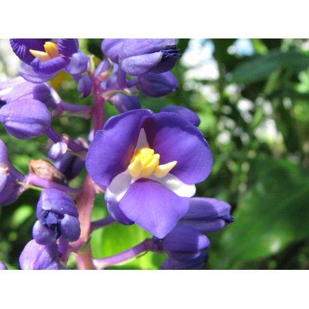 SPRING SPECIAL - Blue Hawaiian Ginger Plant Root - 4 Starter Roots by Discount Hawaiian Gifts