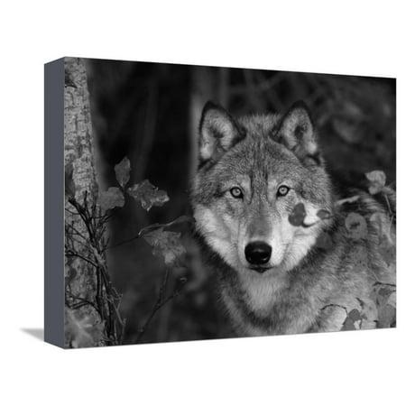 Grey Wolf Portrait, USA Stretched Canvas Print Wall Art By Lynn M. Stone ()