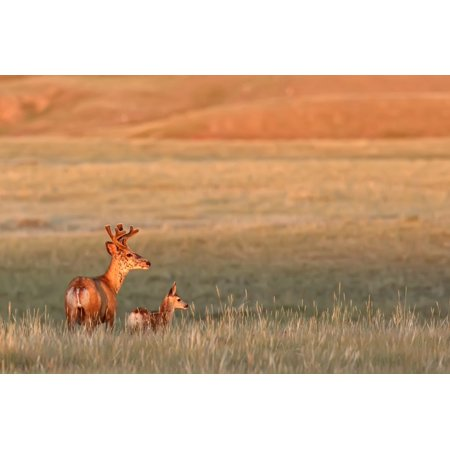 Digitally Enhanced Image With Painterly Effect Of Male White-Tailed Deer With Young Fawn Grasslands National Park Saskatchewan PosterPrint