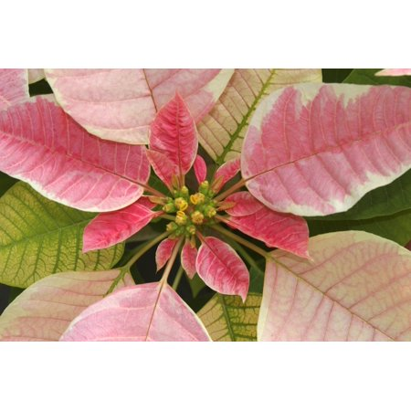 Close-Up Of Pink Poinsettia (Pink Poinsettia)