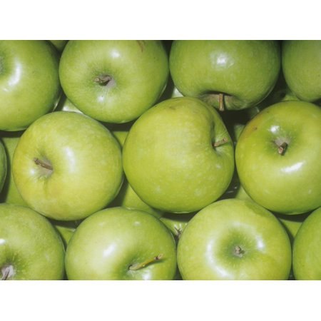 Apple Variety Granny Smith (Malus Domestica), Native to Asia Minor Print Wall Art By Ken (Granny Smith Apple Trees)