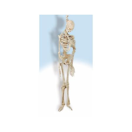 Latex Skeleton 5' (Latex Skeleton)