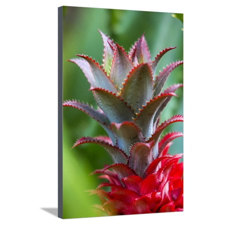 Pineapple Bromeliad Growing in the Maui Country Side Stretched Canvas Print Wall Art By Terry Eggers