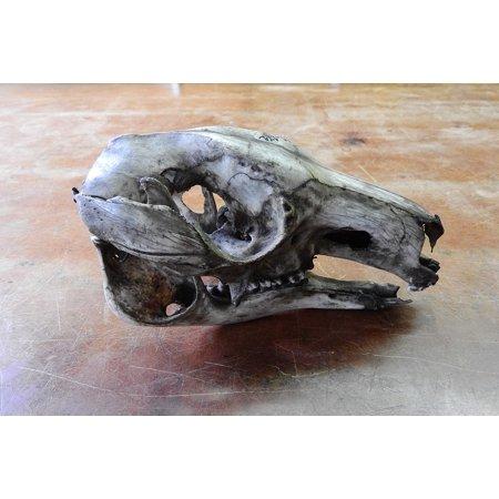 Canvas Print Animal Skull Jaw Anatomy Teeth Skeleton Skull Stretched Canvas 10 x 14 (Teeth Skeleton)