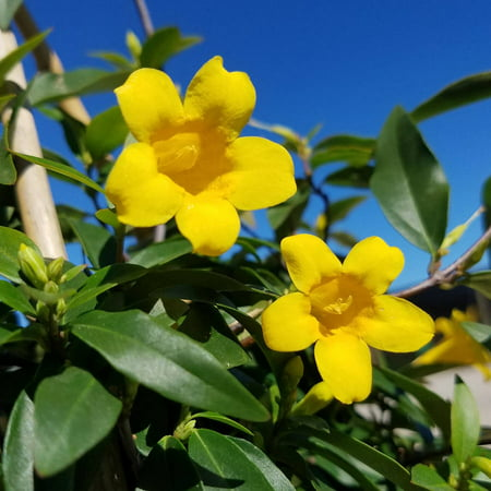 Carolina Jessamine, Vine with Yellow Trumpet Shaped (Best Outdoor Vine Plants)