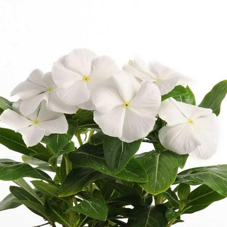Vinca Flower Garden Seeds Pacifica Xp Series White 1000 Seeds