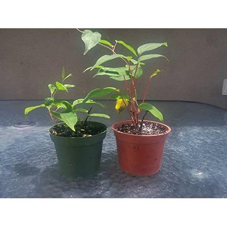Hardy Tree (9GreenBox - 2 Hardy Kiwi Plants - Actinidia - Anna and)