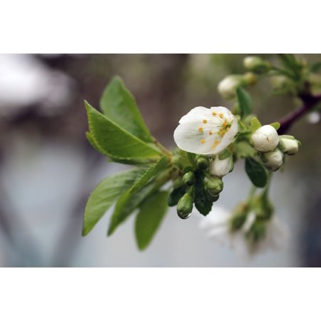 Canvas Print Cherry Branch Rain Spring Flower Wet Season Stretched Canvas 10 x 14 (Seasoned Cherry)