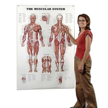 The Muscular System Giant Chart 42