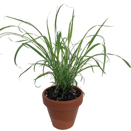 Garden Plants Grasses - Lemon Grass Live Plant - 4