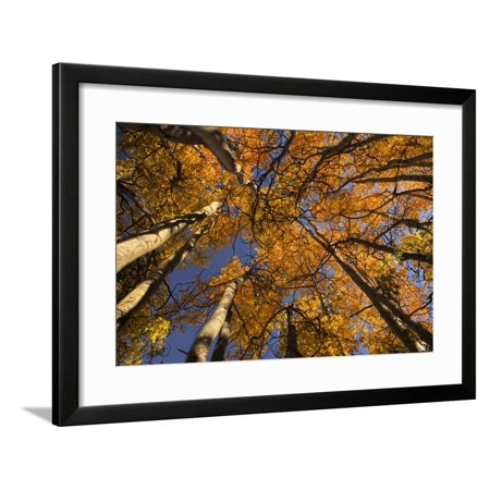 View of Aspen Trees Looking into Sky, Alaska, USA Framed Print Wall Art By Terry