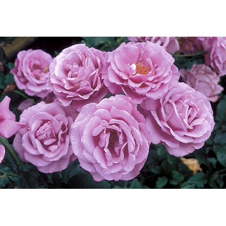 Image of Better Homes 12hb Bhg Shocking Rose
