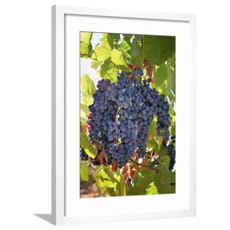 Touriga Nacional grape variety to make red wine. Alentejo, Portugal Framed Print Wall Art By Mauricio -