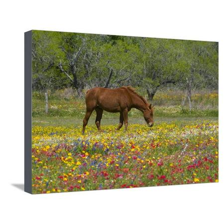 Quarter Horse in Wildflower Field Near Cuero, Texas, USA Stretched Canvas Print Wall Art By Darrell Gulin