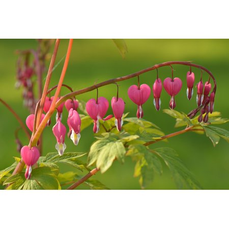 LAMINATED POSTER Flower Bloom Blossom Plant Nature Bleeding Heart Poster Print 24 x 36