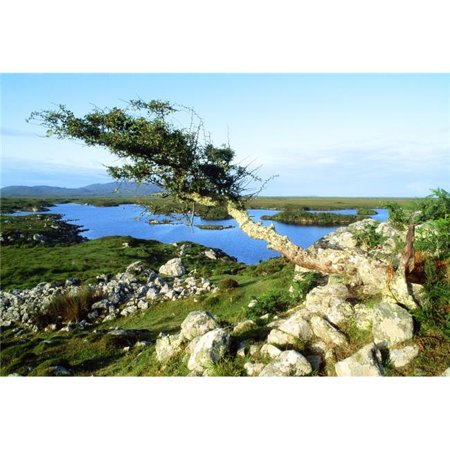 Posterazzi DPI1808068LARGE Roundstone Connemara County Galway Ireland - Tree On A Bog Poster Print by The Irish Image Collection, 36 x 24 - Large - image 1 of 1