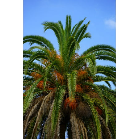 Phoenix Date Palm Tree (LAMINATED POSTER Phoenix Tree Date Palm Palm Palm Tree Poster Print 24 x 36 )