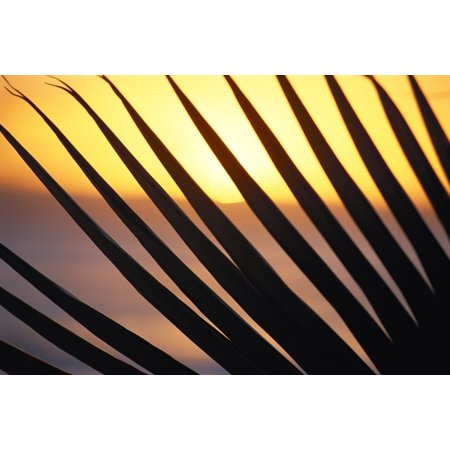 Close-Up Detail Palm Fronds Silhouetted Against Golden Sunset Skies Stretched Canvas - Bill Schildge  Design Pics (19 x 12)