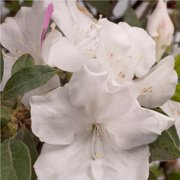 Encore Azalea Autumn Lily - Blooming Shrub with White Flowers - 1 Gal