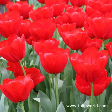 Red Tulips Darwin Hybrids 25 Bulbs Red Van Eijk Tulip