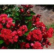 Ruffled Red Magic Crape Myrtle - Live Plant - ( FG )