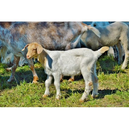 Canvas Print Goat Prima Donna Geiss Meadow Little Kids Pasture Stretched Canvas 10 x 14 (Goat Paste)