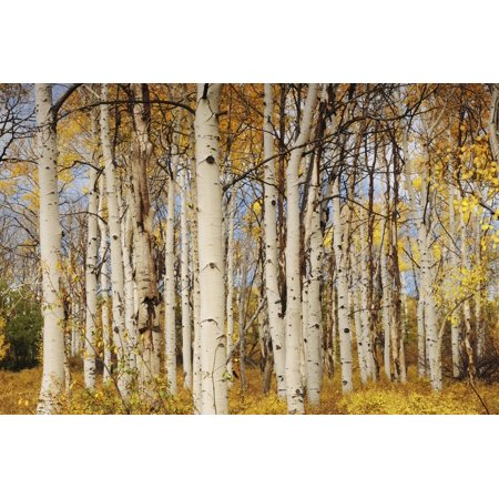 Aspens with autumn foliage, Kaibab National Forest, Arizona, USA Print Wall Art By Michel Hersen