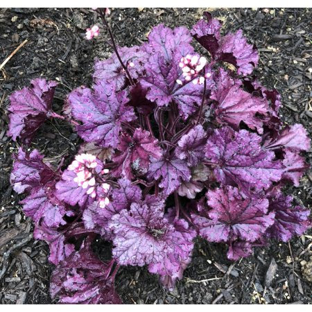 Forever Purple Coral Bells - Heuchera - Shade Perennial - Live Plant -Gallon Pot