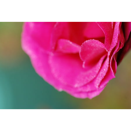 - LAMINATED POSTER Pink Flowers Dew Macro Color Pink Poster Print 24 x 36