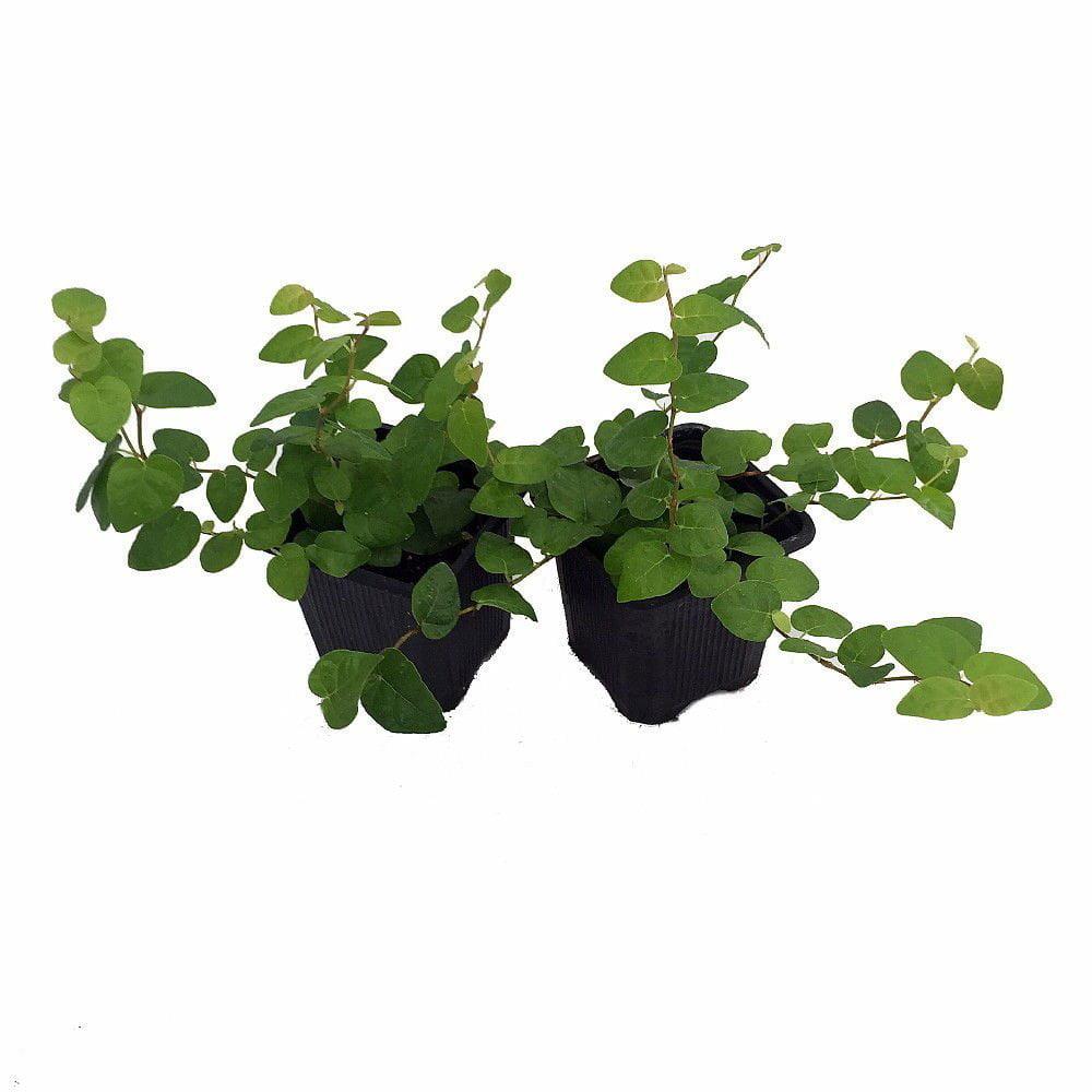 "Green Creeping Fig 2 Plants - Ficus - 3"" Pot - Houseplant/Terrarium/Fairy Garden"