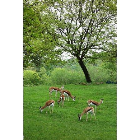 LAMINATED POSTER Captive Zoo Pittsburgh Animals Antelopes Poster Print 11 x 17
