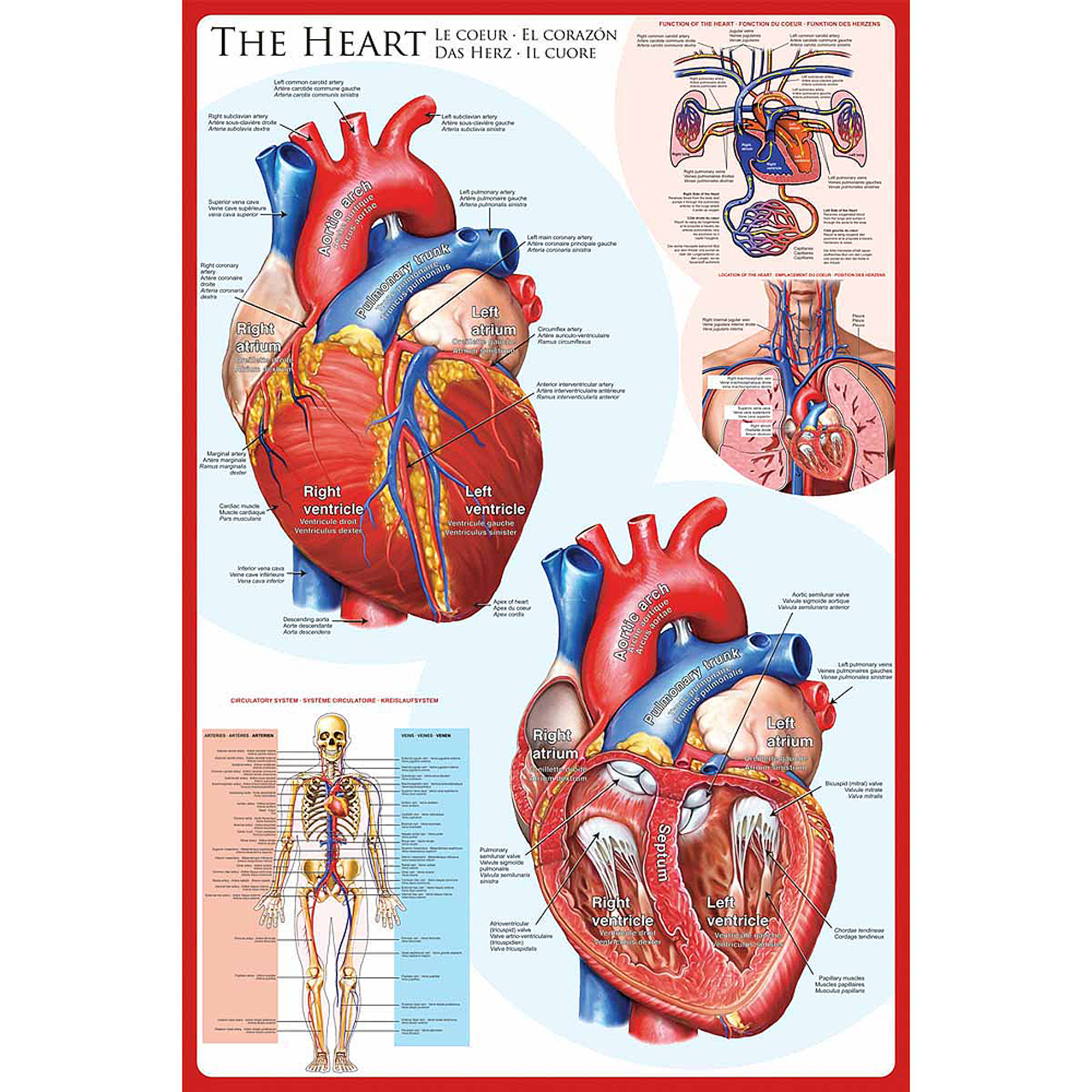 The Heart Educational Chart