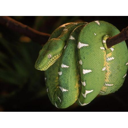 Emerald Tree Boa (Corallus Canina), Ecuador, Amazon, South America Print Wall Art By Pete Oxford (Amazon Tree Boa)