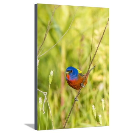 Painted Twig (View of Indigo Painted Bunting Perching on Twig Stretched Canvas Print Wall Art By Gary Carter)