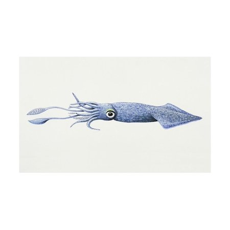 Loligo Squid or Opalescent Inshore Squid (Doryteuthis Opalescens) Print Wall (Opalescent Signed)