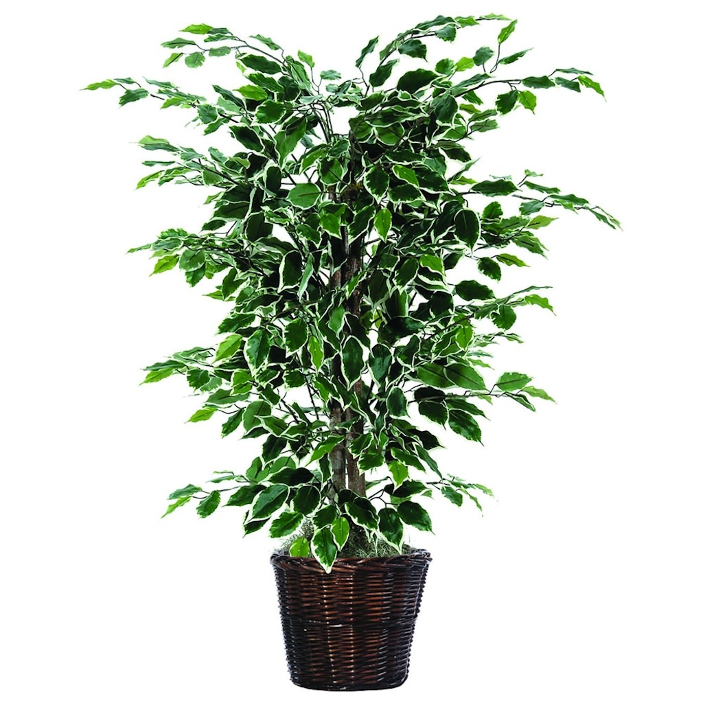 4 ft. Variegated Ficus Bush