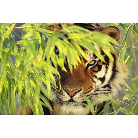 Bengal Tiger Hiding behind Leaves Print Wall Art By DLILLC