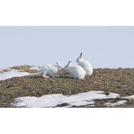 Posterazzi Arctic Hare Performing The Social Behavior Of Nosing On Banks Island Northwest Territories Canada Canvas Art   Matthias Breiter  Design Pics  38 X 24