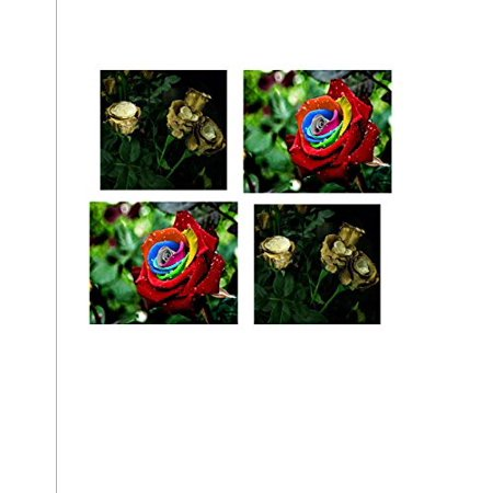 25 Mystic Seeds and 25 Golden Rose Seeds Pack rare beautiful roses exotic
