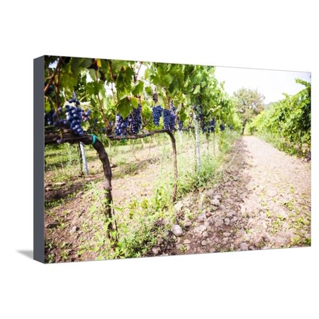 Red Grapes at a Vineyard on Mount Etna Volcano, UNESCO World Heritage Site, Sicily, Italy, Europe Stretched Canvas Print Wall Art By Matthew Williams-Ellis