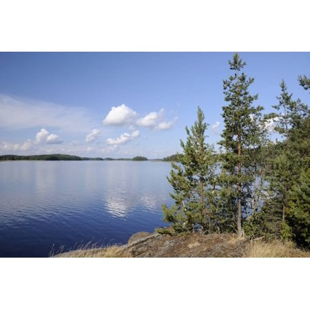 Young Scots Pine Trees (Pinus Sylvestris) Growing Near Rocky Shore of Lake Saimaa Print Wall Art By Nick