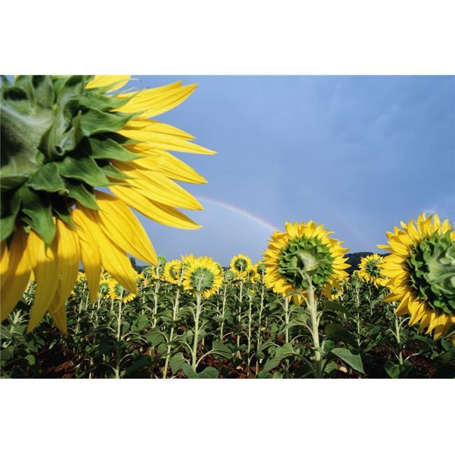 Posterazzi DPI1880812LARGE Sunflowers & Rainbow Poster Print, 34 x 22 - Large - image 1 de 1