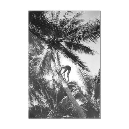 Hawaiian Islands View of Climbing Coconut Tree Photograph (8x12 Acrylic Wall Art Gallery Quality)